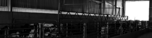 Calf Rearing Sheds